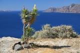 yucca plant near the sea. santorini, greece poster