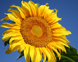 Fototapeta big sunflower