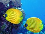 Fototapete Korallen - Riff - Fische