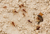 fire ants poster