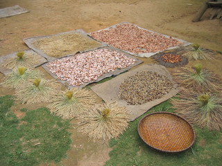 beans grain and corn cereals drying at the floor, rantepao, sula