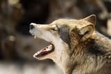 Fototapeta dziki - bestia - Dziki Ssak
