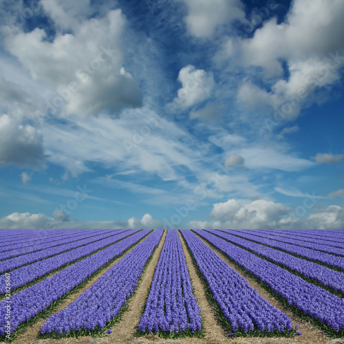 hyacinth fields in holland