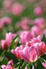 dutch pink tulips