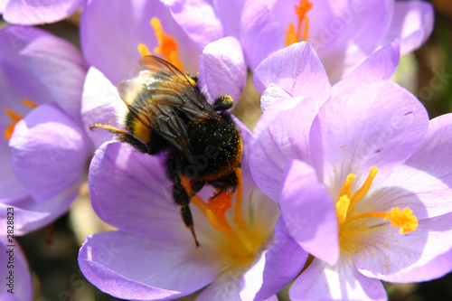 bumble-bee collecting pollen