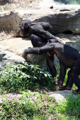 young chimpanzee walking together