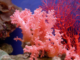 beautiful coral - Fine Art prints