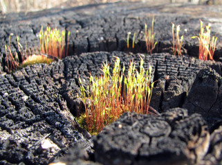 blossoming moss on the charred tree