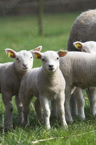 Leinwanddruck Bild curious lambs