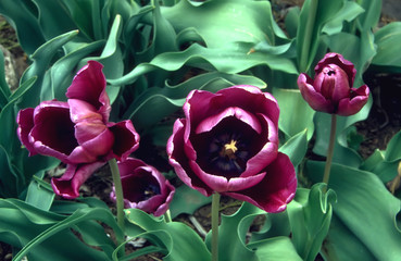 purple parrot tulips - overhead view