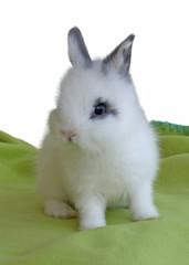 coelho bebé