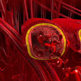 blood arteries and veins cut section poster