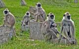 apes in tempel poster