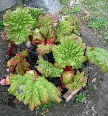 young rhubarb