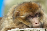 portrait of a barbary ape poster