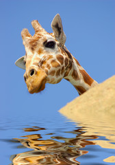 giraffe behind a rock in water