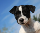 chiot jack russel attentif poster