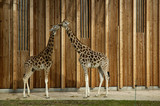 giraffe in zoo poster