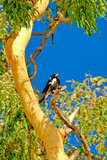 magpie in gum tree 2 poster