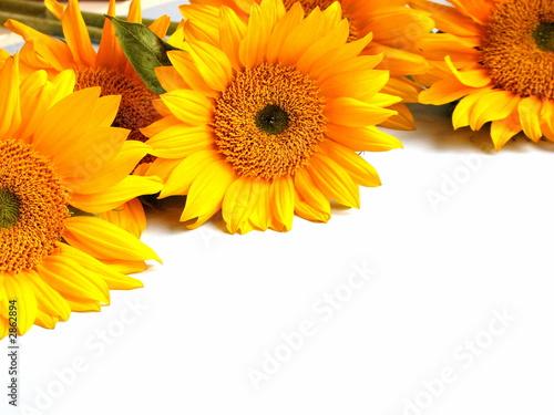Fotobehang Zonnebloemen sunflowers on white