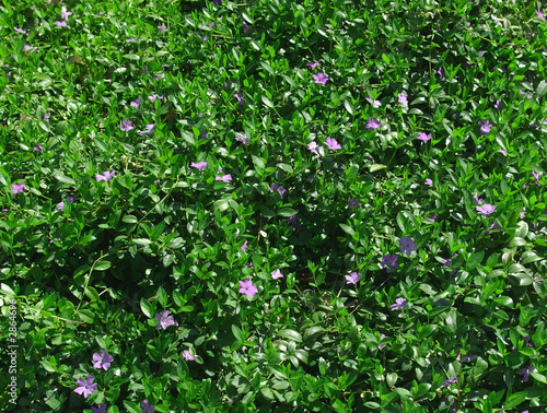 green/purple ground cover