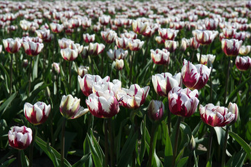 violet and white tulips