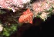 erdbeer-spitzkreiselschnecke