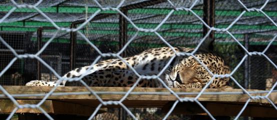 leopard in prison