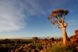 quiver tree landscape