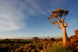 Leinwandbild Motiv quiver tree landscape