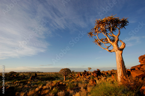 canvas print picture quiver tree landscape