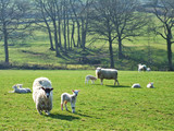 sheep and lambs in morning sunlight poster