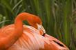 Постер, плакат: flamingo grooming