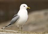 mew gull poster
