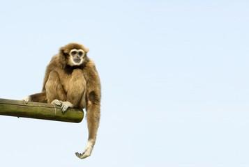 white-handed gibbon sitting down