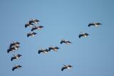 flock of pelican birds poster