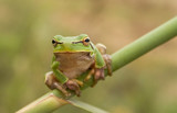 stare of tree frog poster