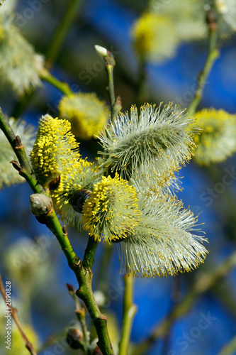 fluffy silky catkins close-up