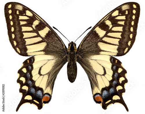 yellow butterfly papilio machaon