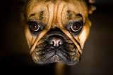 pet friend, french bulldog portrait. shallow dof poster