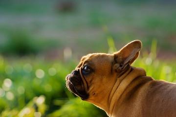 french bulldog looking like a bunny on sunny meado
