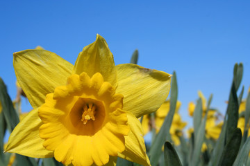daffodil on a farm