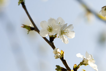 cerisier10