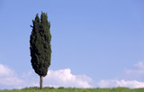 cypress in tuscany italy poster