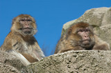 two barbary apes poster