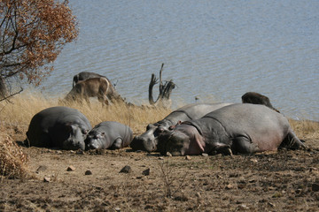 hippos in the sun