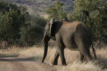 lone elephant crosses the road