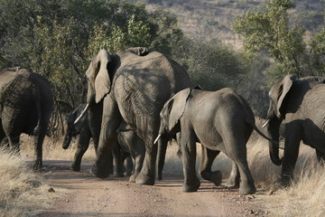 herd of elephants cross the road