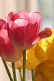 pink tulip in sunshine poster