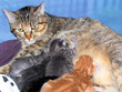 kittens nursing / mother cat
